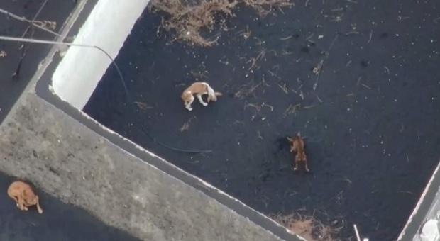 Alcuni dei cani rimasti intrappolati dalla lava. (Immag diffuse sui social da Cabildo de La Palma e Cadena Noticias)