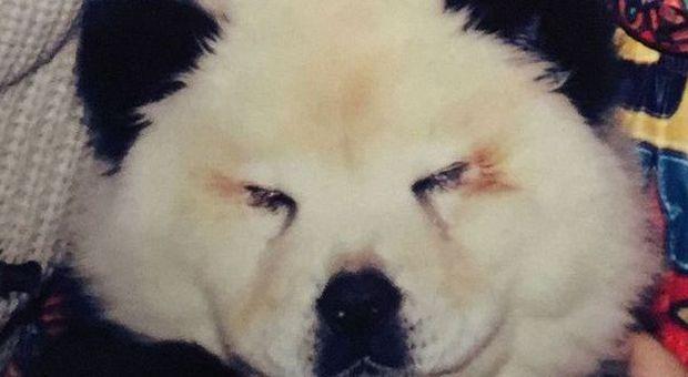 Brescia Cani Chow Chow Travestiti E Truccati Da Panda Denunciato