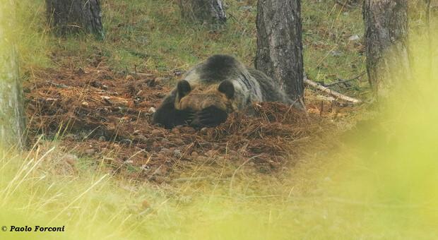 Il riposo dell'orsa Amarena dopo il combattimento con il lupo (foto di Paolo Forconi)