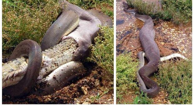 Pitone mangia un coccodrillo: le immagini choc pubblicate su Facebook