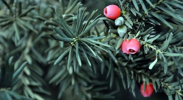 Mangia le bacche dell'albero della morte, giovane rischia la vita a Trieste