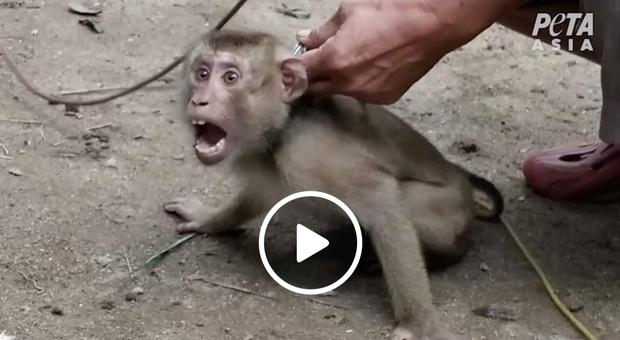 La triste realtà dell'industria delle noci di cocco in Thailandia nella video denuncia di Peta Asia. (immagini pubbl da Peta Asia su Fb)