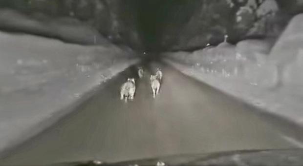 Insegue i lupi di notte con la macchina: «Adesso li scanno». Caccia all'autore del filmato