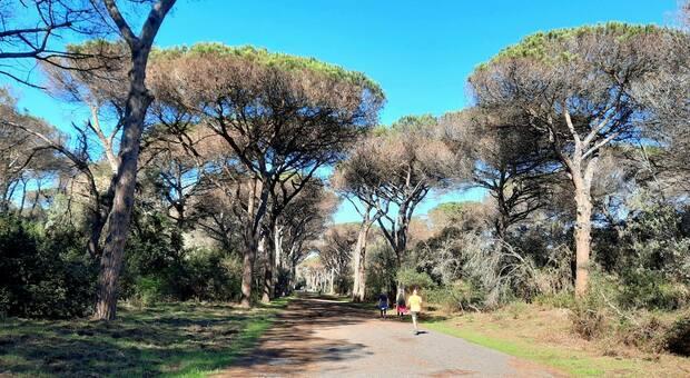 Roma, l'appello: «Un milione di pini è a rischio» E' lotta contro la cocciniglia tartaruga