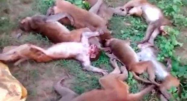India, una dozzina di scimmie trovate morte: forse uccise dal ruggito di una tigre