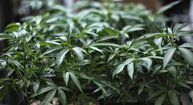 Cannabis, Cassazione: coltivazione in casa non è reato