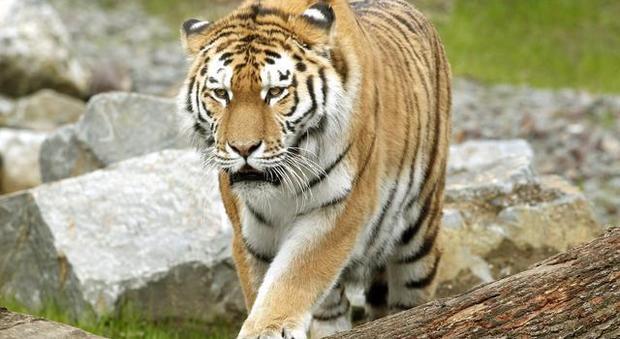 Tigre attacca e uccide dipendente dello zoo di Zurigo