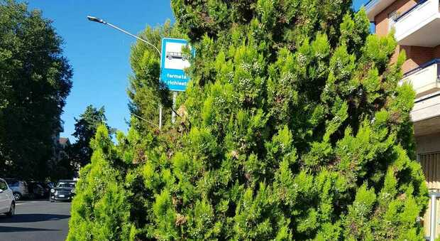 La pianta oscura il cartello, potatura selvaggia. I residenti: «Perché non hanno sposato il segnale?»