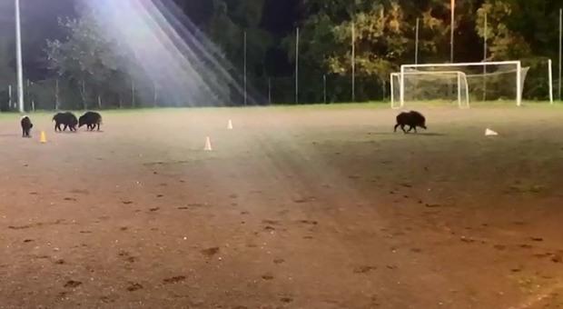 Ariccia, branco di cinghiali invade campo di calcio dei bambini - Il Messaggero