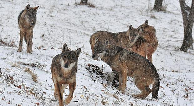 Lupi, orsi e cervi: la natura prende il sopravvento nel Parco nazionale d'Abruzzo: ecco come vederli