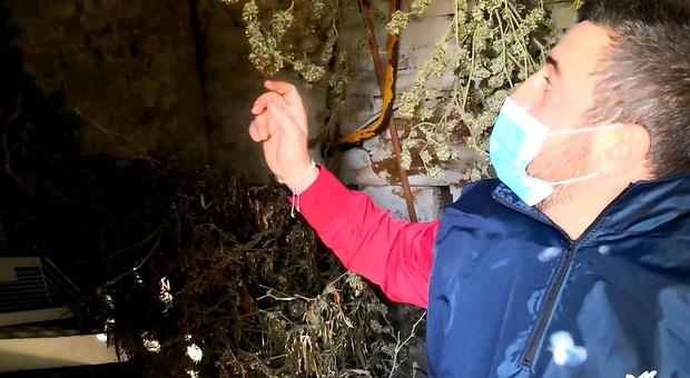 Fazenda della marijuana, arrestata cubana con 10 chili di droga: avrebbero fruttato 80mila euro
