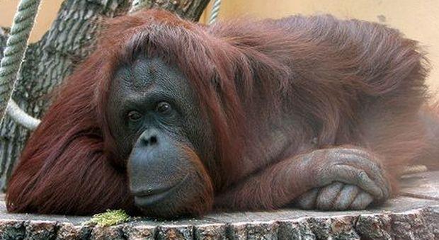 Sandra, l'orango rioconsciuta essere senziente. (immagine pubblicata Ansa)