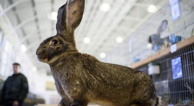 Si ammala di peste bubbonica dopo aver mangiato un coniglio selvatico