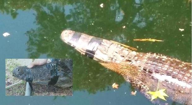L'alligatore trovato con il nastro adesivo (immag diffuse da Barbara Thornton e Fox 13 Tampa Bay su Fb)