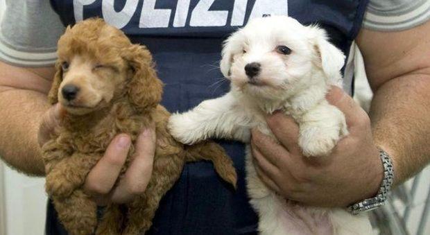 Rimini, caricavano cuccioli su un furgone in Polonia e li portavano in Italia illegalmente: 3 denunce