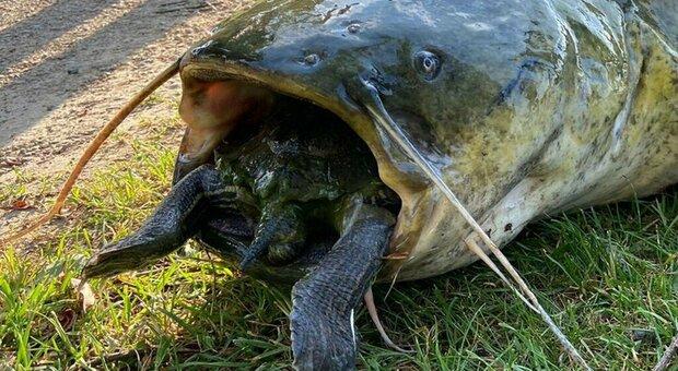 Germania, un pesce siluro trovato con una tartaruga di 40 chili in bocca: morti entrambi