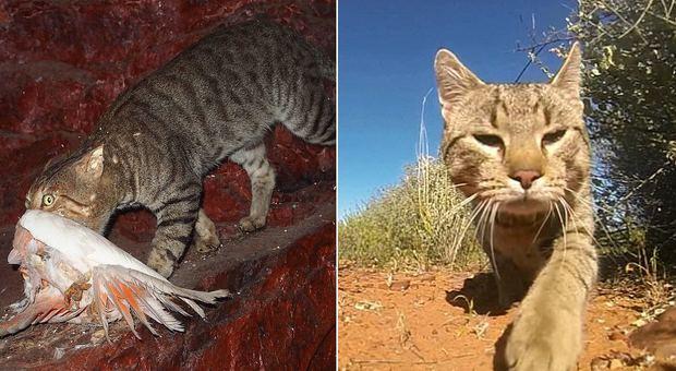 L'Australia tenta di avvelenare due milioni di gatti selvatici