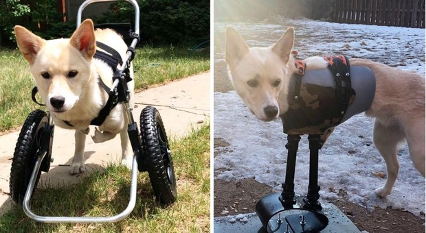Cagnolino nato senza zampe anteriori: ora scorrazza sulla neve con una protesi a forma di snowboard