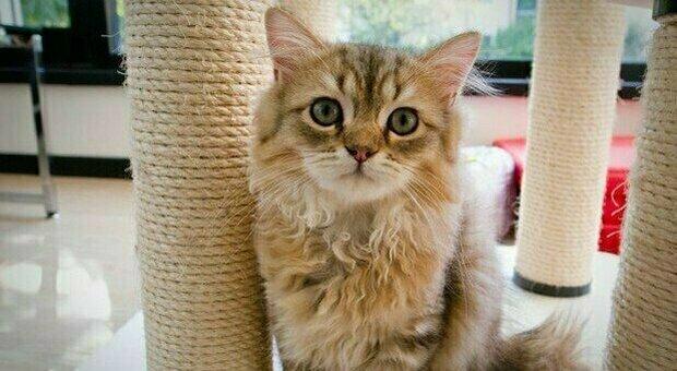 Gatto (contagiato dai padroni) muore di Covid. Studio conferma la trasmissione da uomo a felino