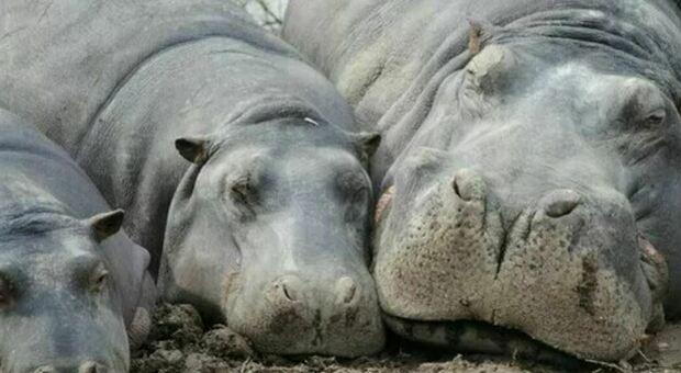 Colombia, gli ippopotami di Pablo Escobar minacciano l'ambiente: «vanno abbattuti»