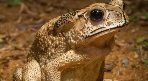 Rospi tossici, «i predatori non possono mangiarli»: scatta l'allarme per l'ecosistema