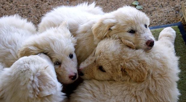 Lazio, 8 cuccioli di pastore maremmano brutalmente uccisi a picconate: denunciato un pensionato
