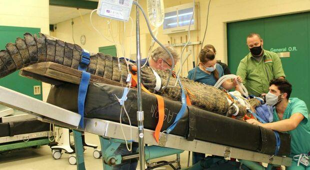 Coccodrillo ingoia una scarpa e rischia di soffocare (ma arriva un veterinario coraggioso)