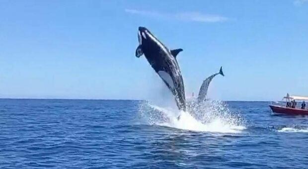 Irlanda, rischia di annegare ma viene salvato grazie all'aiuto dei delfini: saltando hanno consentito il ritrovamento