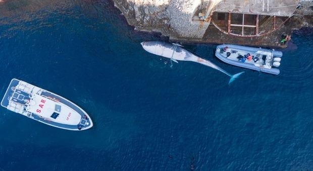 Balena morta a Capri, l'autopsia svela il mistero: «Decesso 10 giorni fa, trascinata dalle correnti»