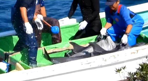 I delfini catturati nella barca dei pescatori giapponesi (immagini e video pubbl da Dolphin Project su Fb)