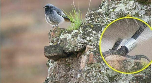 """Colosseo, scoperto l'uccellino d'Ungheria: lo """"spazzacamino"""" che ama i ruderi d'inverno"""
