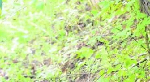 Non c'è pace per gli orsi dopo Daniza ucciso un maschio in Abruzzo