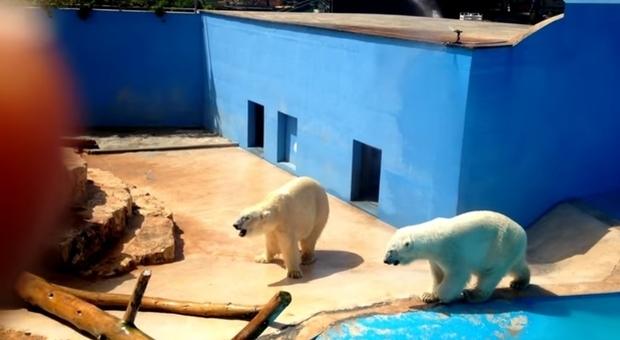 Gli orsi polari del gelido Artico, costretti al caldo soffocante dello zoo in Puglia: è polemica