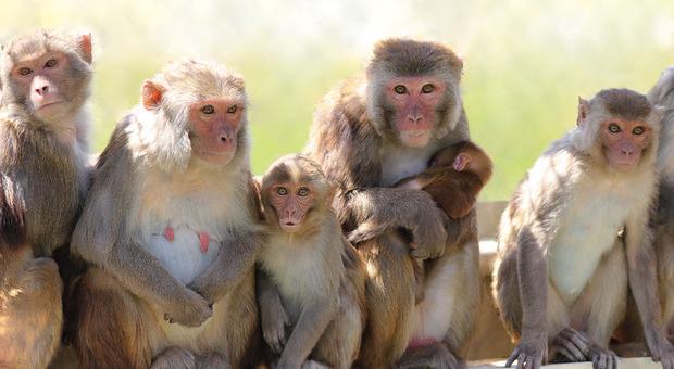 La scimmia fa la respirazione bocca a bocca alla compagna in difficoltà: le incredibili immagini dal Botswana