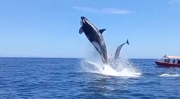 L'orca e il delfino fuori dall'acqua (immag e video pubbl da Miguel Cuevas 19 su Instagram)