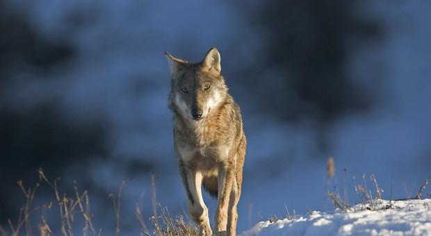 Giunta veneta rifinanzia indennizzi per danni presenza lupi