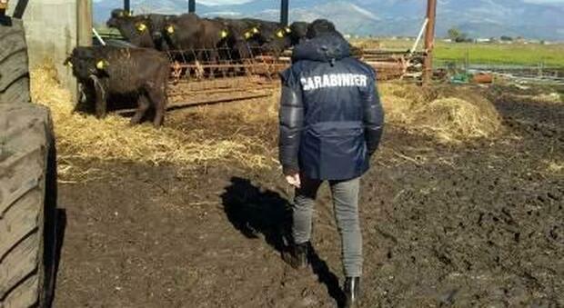 Animali maltrattati e rifiuti di ogni genere, sequestrata azienda agricola a Pontinia