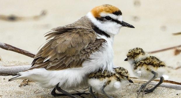 Il Fratino, specie a rischio estinzione, sceglie Montalto per nidificare sulla spiaggia