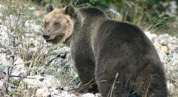 L'orso M49 si sposta verso l'Alto Adige: allertata la Forestale della provincia di Bolzano