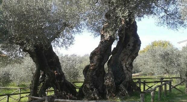 Censimento degli alberi monumentali, il più longevo è a Trevi