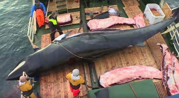 La Norvegia riprende la caccia alle balene (immag pubblicata dall'associaz ambientalista C'est assez su Fb)