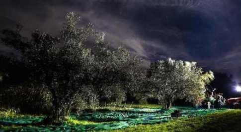 Raccolta delle olive di notte