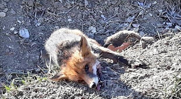 La volpe quasi morta presa al laccio. (Immagine pubblicata dal quotidiano locale del Trevigiano Qdp su Fb)