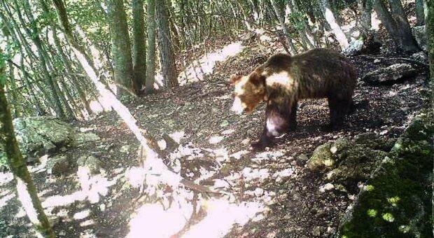 L'orso M49 catturato in Trentino: fuga terminata dopo due mesi