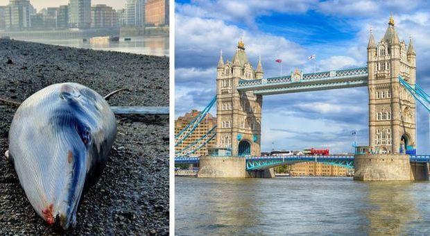 Londra, balena morta sul Tamigi: è il secondo cetaceo spiaggiato nella capitale britannica in due mesi