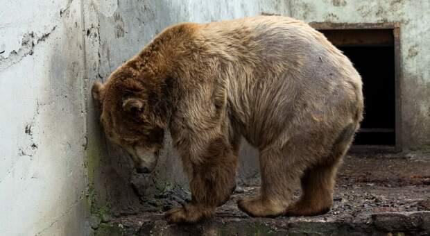 Orsi rinchiusi nella gabbia dello zoo bulgaro. Le tristi immagini riprese dalle associazioni: «Liberateli»
