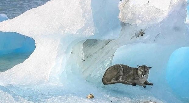 Il puma sull'iceberg (immag diffusa sui social da Fundacion Reforestamos e Todo Noticias)