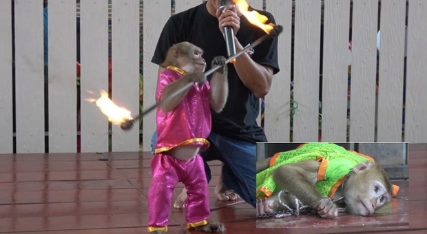 Scimmie incatenate e costrette a dare spettacolo con il fuoco per i turisti (immagini pubblicate da Viral Press su youtube)