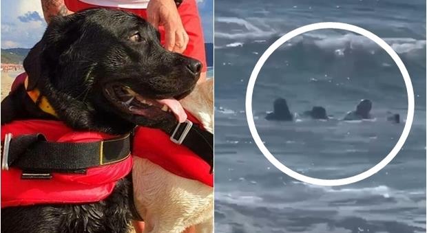 Cani eroi a Palinuro, due labrador si tuffano e salvano una 15enne che stava annegando