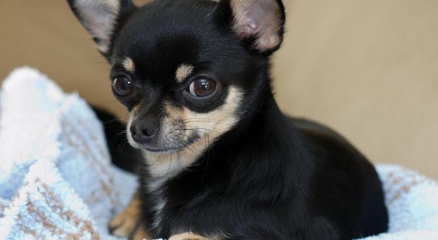 Chihuahua salva padrona dall`aggressione di un orso